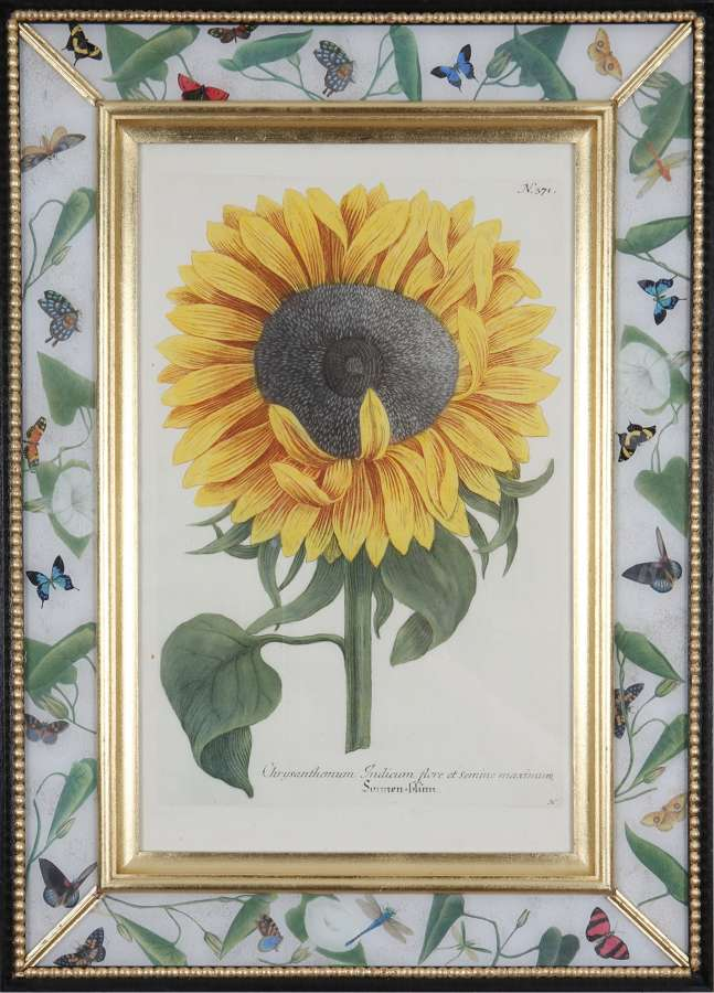 Johann Weinmann: 18th century engravings of sunflowers