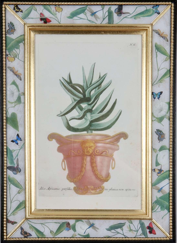 Johann Weinmann: 18th century engravings of plants in pots
