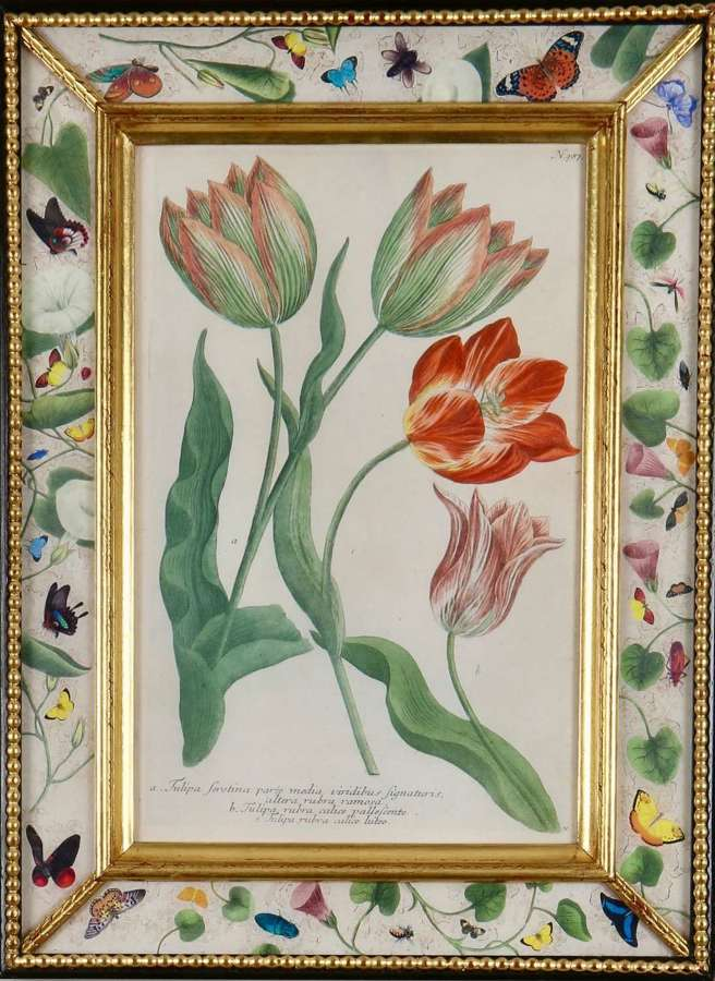 Johann Weinmann: c18th  engravings of tulips in decalcomania frames